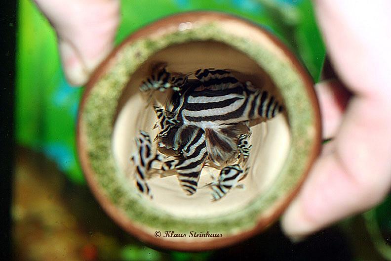 Zebrapleco Com The Complete Hypancistrus Zebra Resource